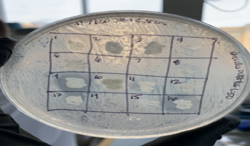 Waukee APEX Research Students Join the Quest to Discover New Antibiotics from Soil Bacteria